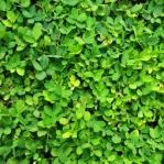 Verde copia